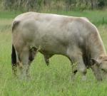 Bull Grazing