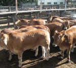 Beef Expo 2009 Steers