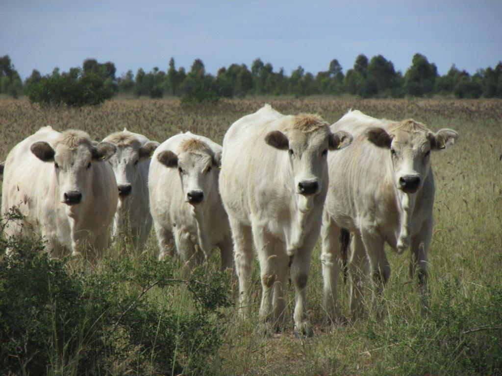 Stud Heifers