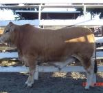 Grand Champion Steer Mackay Show