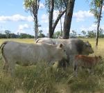 Bull, Cow & Calf