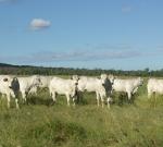 Wyoming Maiden Heifers