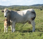 Wyoming Amity with Calf Wyoming Dolly