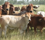 Typical Romagnola Crossbred Calves on Red Brahman Cows