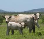 Purebred Cows & Calves