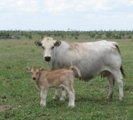"Wyoming Catalina with her ""Sacco"" bull calf"