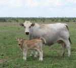 "Wyoming Catalina with her ""Sacco"" bull calf"