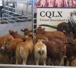 Romagnola/Brahman Cross Steers - Beef Australia 2012