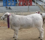 Wyoming Christine - Junior Champion Female Beef 2009