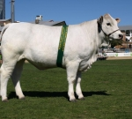 Wyoming Firefly - Reserve Champion Female - Ekka 2012.  Photo Courtesy of QCL