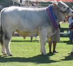 Wyoming Emmett - Junior Champion Bull Ekka 2010