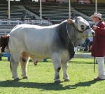 Wyoming Dario - Reserve Senior Champion Bull Ekka 2010
