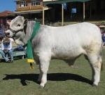 Wyoming Fireman - Reserve Champion Bull - Ekka 2011