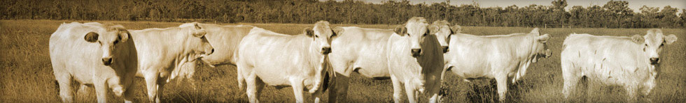 Wyoming Romagnola Cattle