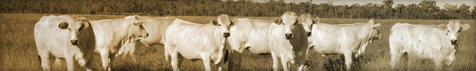 Wyoming Romagnola Cattle