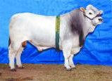 Wyoming Zac (AI Sire)